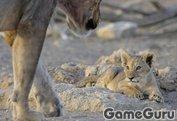 Игра Львы