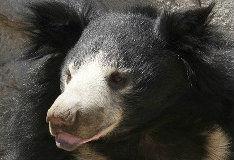 Игра Медведь-ленивец